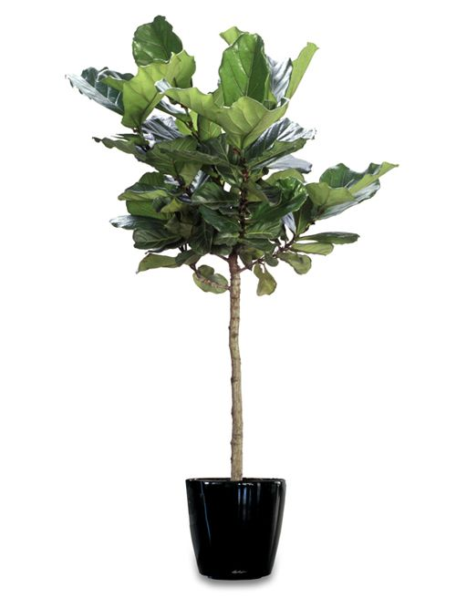 me my fiddle leaf fig tree the estate of things. Black Bedroom Furniture Sets. Home Design Ideas